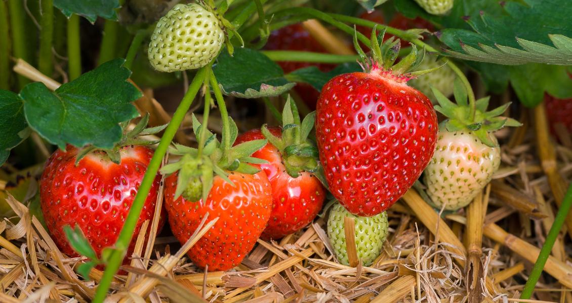 Erdbeerträume im Sauerland
