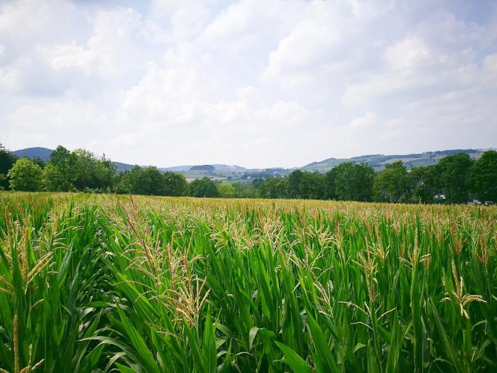 Maislabyrinth Felbecke Sauerland